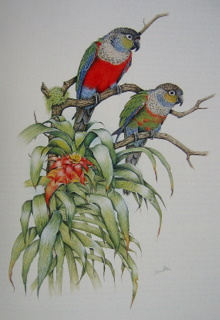 CrimsonbelliedConures